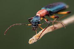 Slender carabid | A very slender & colorful beetle (just 7mm… | Flickr