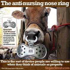 When it comes to the cruelties inflicted by the dairy industry - the forced pregnancies, forced separations, the veal calves, etc etc, we thought we had seen everything. But they somehow still manage to shock and appall us. For example, we only recently learned about this handy tool to keep those greedy calves away from the people's milk: http://veganstreet.com