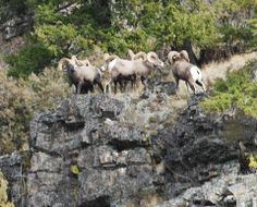 Bad boys of Rock Creek on a cliff above the valley. Big horn sheep in rut. Image by Tim Savard of Savard Hospitality Consulting. http://www.SavardHospitalityConsulting.com 406-825-5300