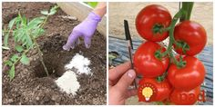 Flora, Fruit, Vegetables, Gardening, Lawn And Garden, Plants, Vegetable Recipes, Veggies, Horticulture