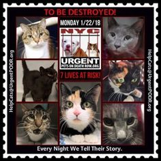 "TO BE DESTROYED 01/22/18 - - Info Please share View tonight's list here: http:// nyccats.urgentpodr.org/ tbd-cats-page/. The shelter closes at 8pm. Go to the ACC website( http:/www.nycacc.org/ PublicAtRisk.htm) ASAP to adopt a PUBLIC LIST cat (noted with a ""P"" on their profile) a… CLICK HERE FOR ADDITIONAL INFO/P...- Click for info & Current Status: http://nyccats.urgentpodr.org/to-be-destroyed-32017/ #adoptionhelp"