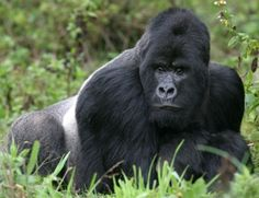 Mountain Gorilla of Uganda and Rwanda in Africa