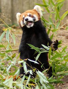 "All red pandas are cute, but this one (Toby) deserved to be declared ""World's Cutest Animal"" by the Houston Zoo."