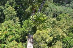 Platycerium ridleyi in the natural habitat. Platycerium, Ferns, Habitats, Gardening, Natural, Plants, Lawn And Garden, Fern, Flora