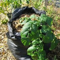 Historically, potatoes have only been grown on farms and in vegetable gardens with lots of space. However, even those people in the smallest of urban lots can grow healthy and tasty potatoes with the garbage bag method.