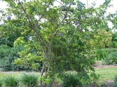 Ata-pinha | Viveiro Ipê - Annona squamosa is a small, semi-(or late) deciduous,[8] much branched shrub or small tree 3 metres (9.8 ft)[6] to 8 metres (26 ft) tall[8] very similar to soursop (Annona muricata)[9] with a broad, open crown or irregularly spreading branches[5] and a short trunk short, not buttressed at base.[8] The fruit of A. squamosa (sugar-apple) has delicious whitish pulp, and is popular in tropical markets.[8]