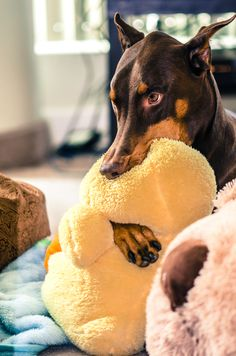 "The Doberman ""suckie toy"" zoned out look. A little over 50% do this with toys, blankets, towels, etc. The ones who don't have access to an item will usually become flank suckers or have chronic lick granulomas on their feet or toes. Just give them a large bath towel. Better that than the vet bills for the wounds."