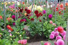 Dahlia garden-wish I didn't have to work and could spend all day in the garden!