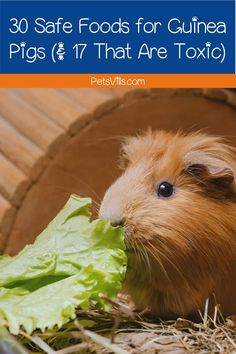 Looking for a list of safe guinea pig foods? How about foods that are toxic to cavies? We've got you covered on both counts! Check out our guide! Guinea Pig Food, Guinea Pigs, Good Sources Of Calcium, Sources Of Fiber, Happy Pictures, Happy Pics, Caffeine Chocolate, Oxalic Acid, Pigs Eating