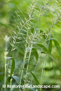 Restoring The Landscape With Native Plants: Native Plant of the Week: Bottlebrush Grass ~ Elymus hystrix (Hystrix patula)