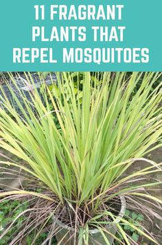 11 Fragrant Plants That Repel Mosquitoes - - Here are eleven beautiful and fragrant plants that repel mosquitoes - keeping your home and garden mosquito free. Diy Garden, Lawn And Garden, Garden Plants, Garden Landscaping, Home And Garden, Garden Ideas, Tropical Landscaping, Backyard Ideas, Plants That Repel Bugs