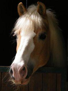 Palomino pony.
