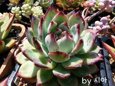 """Succulent - """"라탐"""""""