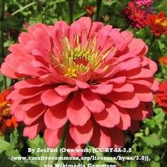 Benary's Giant Coral zinnia. Huge, vibrantly colored flower.