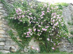 Hunderte von historischen Kletterrosen schmücken die alten Gemäuer unterhalb des Renaissance-Schlosses und auch viele Hausfassaden in südfranzösischen Grignan. Jedes Jahr bereits im Mai erblühen sie dort in allen Farben. Der Rosenduft erfüllt dann die alten Gassen, noch bevor die Lavendel-Felder am Stadtrand ihre Aromen entfalten können. Spazieren wir jetzt gemeinsam durch dieses Rosen-Paradies dank Aufnahmen von Grignan Roses Anciennes.