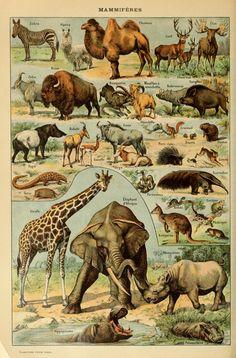 Le Larousse pour tous : Mammiferes.......Mammals mais oui !!!