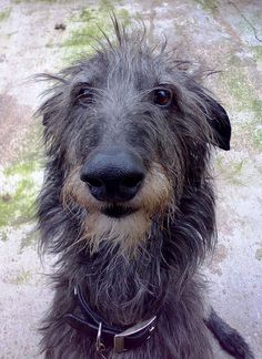 Angus in back yard. by Angus Deerhound, via Flickr.....looks like a cross between my two dogs my parents used to have....R.I.P. Sadie and Connor@Jeanie Robertson