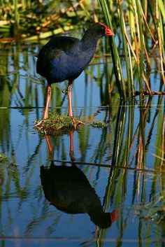 Pukeko-New Zealand native bird Get your golf equipment at Golf USA. www.golfusa.co.za