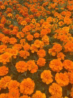 color #orange #aesthetic #morealivewithcolor #flowers #carnations Orange aesthetic Orange background Orange wallpaper