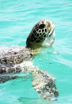 Sea Turtle by Lehnerya on Flickr.
