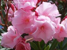 "Nerium oleander ""Spendens Double Pink Mrs Isadore Dyer"""
