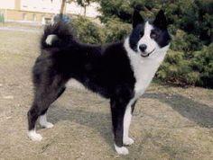 Karelian Bear Dog - Karjalankarhukoira