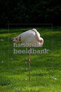 flamingo op het gras