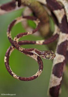 https://flic.kr/p/FSuvTG | Common Blunthead Tree Snake | Imantodes cenchoa. Yasuni National Park, Ecuador 2016.