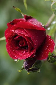 raindrops on a rose flower over a natural green background right after a summer rain 23 Amazing Rain Photography