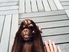 Luna ! #labrador #funny
