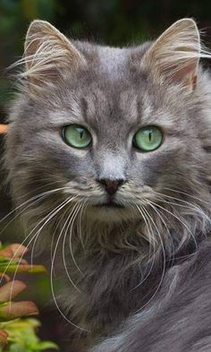 Cute Cats And Kittens, Cool Cats, Kittens Cutest, Funny Kittens, Kitty Cats, Cats Bus, Ragdoll Kittens, Tabby Cats, Bengal Cats