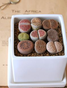 Lithops... I've been looking for these for a while, I saw them once at Lowes and never again. Plants that look like rocks :)