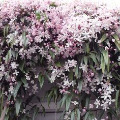 Clematis Apple Blossom online bestellen – Famous Last Words Beautiful Gardens, Beautiful Flowers, Clematis Armandii, Garden Cottage, Back Gardens, Dream Garden, Garden Planning, Garden Inspiration, Garden Plants