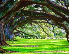 Awesome trees!  #oakalley #neworleans #oakalleyplantation #nola #louisiana #frenchquarter #landscape #nature #instanature #beautiful #photography #instaphoto #vsco #vscocam #gopro #green #memorialday #travel #instatravel #pretty by caycedrobek