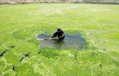 Reuters Reuters The Chinese Yellow River was invaded by Algae.