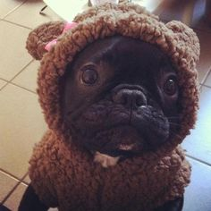 Looks like a little Bosley!  Now I want to get him a bear coat...