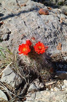 Echinocereus coccineus subsp. rosei, Mexico, Chihuahua, Alamos de Pena  More Pictures at: http://www.echinocereus.de