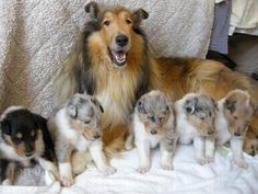 Mama Collie with tri-color, blue merles & sable pups