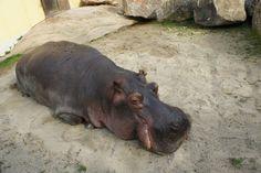 Hippopotami enjoying the warm sun after a much too long winter. Zoo of Vienna. Long Winter, Hippopotamus, Vienna, Most Beautiful, Old Things, Sun, Warm, Solar
