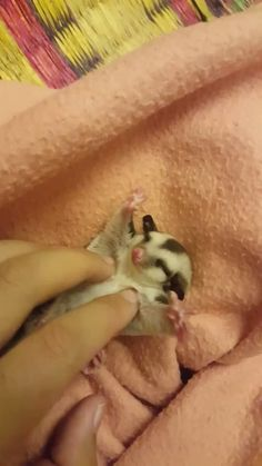 Sugar gliders are popular exotic pets. They're small cute and unique little animals. But just because of this be an owner of one of them has a lot of special care requirements and also some controversies. Cute Funny Animals, Cute Baby Animals, Funny Cute, Animals And Pets, Cute Creatures, Beautiful Creatures, Animals Beautiful, Animal Pictures, Cute Pictures