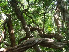 Jungle vines, (lianas, Tarzan ropes), Cape Tribulation.