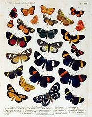 NovaraExpZoologischeTheilLepidopteraAtlasTaf107.jpg