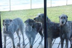 Photo Elias the Wolfhound