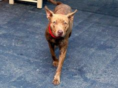 TO BE DESTROYED 10/11/14-Manhattan Center -P  BAISLEY - A1015930  *** EXPERIENCED HOME ***  FEMALE, BR BRINDLE, PIT BULL MIX, 2 yrs, 1 mo STRAY - STRAY WAIT, NO HOLD Reason STRAY  Intake condition UNH&UNTREA Intake Date 09/30/2014, From NY 11434, DueOut Date 10/03/2014,