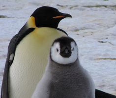 Emperor penguin and his chick. Weddell sea - Atka bay-2010.