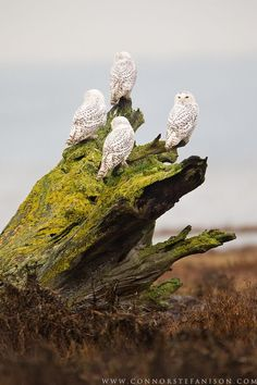 A group of Snowy Owls perch on the foreshore of Boundary Bay, BC, Canada