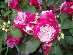 Impatiens double begonia dragon Double Impatiens, Ornamental Cabbage, Shade Plants, Flowering Trees, Flower Beds, Lawn And Garden, Hibiscus, Shrubs, Gardens