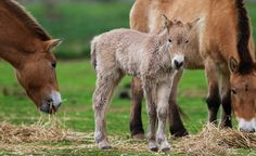 Did you know that the Przewalski Horse is the only true wild horse left in the world. 'Wild' horses in other places (like the mustang and the brumby) are really domestic horses gone wild.   www.zoo.org.au
