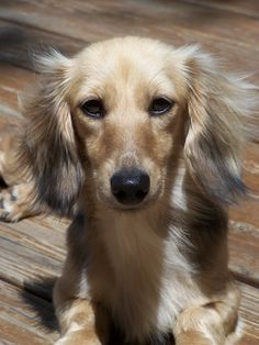 Shaded English Cream Long Haired Dachshund-- If and when I am ever ready to replace Loopy it will be with this kind of dachshund