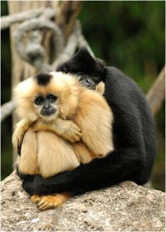 Crested Gibbon